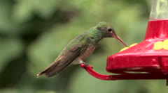 Buff-bellied Hummingbird male sips, sallies forth Stock Footage