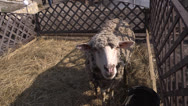 Stock Video Footage of Sheep bleat