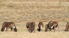 Black wildebeest grazing Stock Footage