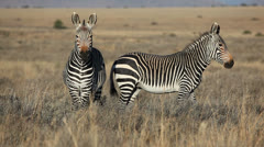 Cape Mountain Zebras Stock Footage