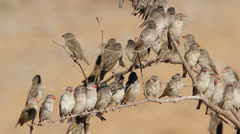 Red-billed Queleas Stock Footage
