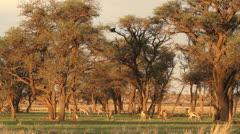 Grazing springbok Stock Footage