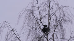 Crow at the slot on a tree Stock Footage