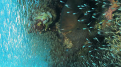 grouper fish shoal of bait fish cover the coral block - stock footage