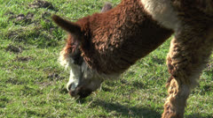 Brown white alpaca grazing closeup Stock Footage