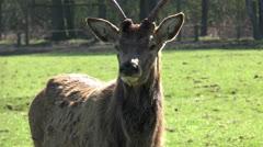 red deer closeup - stock footage