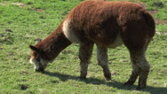 Stock Video Footage of brown white alpaca grazing on meadow