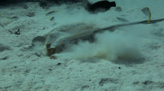 blue spotted ray  feeding at the sea bed - stock footage