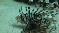 Lion fish at the sea bed Stock Footage