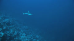 shark swim in the blue - stock footage