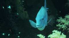 sergeant fish getting clean - stock footage