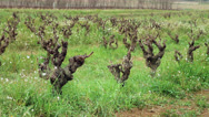 Stock Video Footage of vineyards 02
