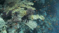 Massive sea fan hanged on the reef Stock Footage