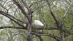 Little Egret (Egretta Garzetta) on branch Stock Footage