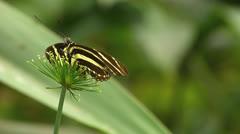 Stunning Butterfly Zebra longwing Cyperus prolifer Cyperaceae Cyperus Stock Footage