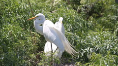 Family of Great Egret (Ardea alba) in a nest Stock Footage