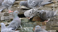 Birds pigeons drinking water on rocks - stock footage