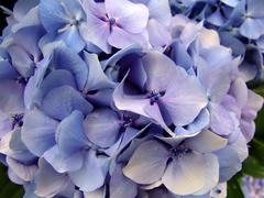 Blue hydrangea detail, typical flower of the azores islands Stock Photos