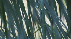 Green sedge near pond waving on the wind - stock footage