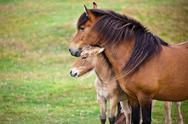 Stock Photo of brown horse and her foal in a green field of grass.