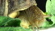 Big snail on a green leaf Stock Footage