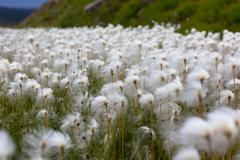 Arctic cotton grass in iceland Stock Photos