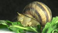 Big snail on a green leaf Stock Footage