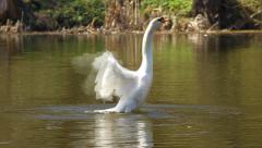 White swan waves wings Stock Footage