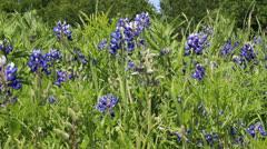 Bluebonnets in Texas Stock Footage