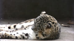 Snow leopard licking its fur Stock Footage