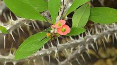 Euphorbia milii, Euphorbiaceae, Madagascar Stock Footage