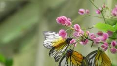 Butterflies dancing on flower Stock Footage