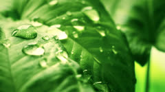 leaf with drops close-up sequence - stock footage