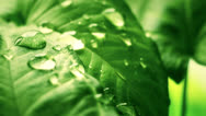 Stock Video Footage of leaf with drops close-up sequence