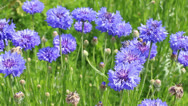 Stock Video Footage of Blue Cornflowers