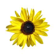 bloom of the sunflower - stock photo