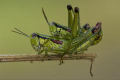 close up of two grasshopper orthopterous - stock photo