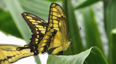 Stunning Swallowtail Butterfly courtship mating w female Stock Footage
