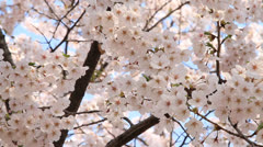 Cherry blossoms swaying in wind Stock Footage