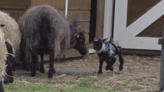 Baby skudde sheep first time outside Stock Footage