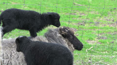 Baby skudde sheep on mothers back Stock Footage