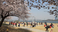 Stock Video Footage of People on cherry blossom festival at park