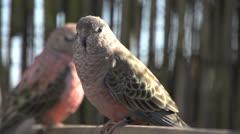 Two Pink bourke parakeet Stock Footage