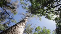 Tree trunk and canopy Stock Footage