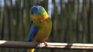 Stock Video Footage of Colorful turquoise Parakeet  looking around and flies away