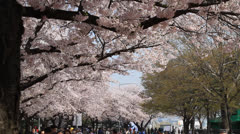 People at beautiful cherry blossom festival in Seoul Stock Footage