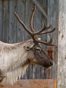 Caribou head with nice antler Stock Photos