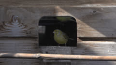 Canary going inside cage Stock Footage