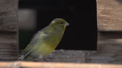 Moulting canary jumping away Stock Footage