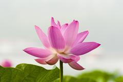 Blooming lotus Stock Photos